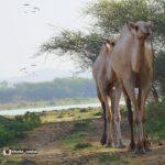 walking-camel
